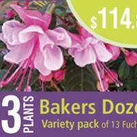 bakers dozen fuchsias