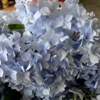 Hydrangea general vicomtesse de vibraye Devon pic