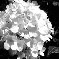 hydrangea white mophead le cygne ballarat