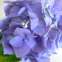 Hydrangea Goliath Devon pic