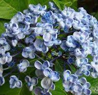 Ayesha blue