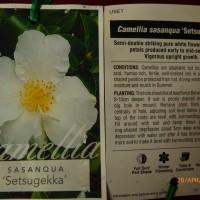Camellia setsugekka brenlissa pic