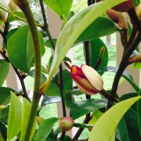 image port wine magnolia figo