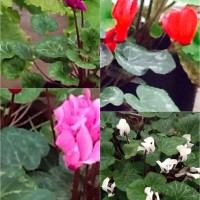 Cyclamen mixed Daylesford