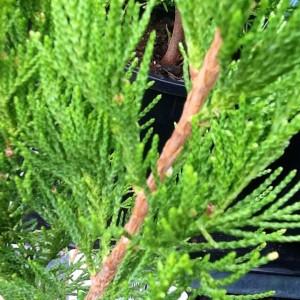Juniper spartan brenlissa pic
