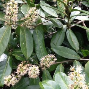 image prunus laurocerasus english laurel daylesford botanic g Ipad