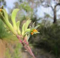 kangaroo paw green2