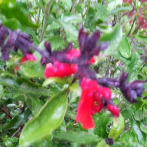 Salvia Crimson and Black ours