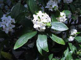 Daphne odora alba