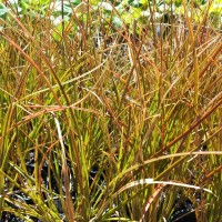 Carex testacea orange sedge grass (Our image)