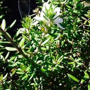 Zena westringia Ballarat
