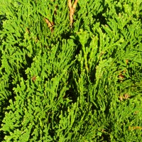Thuja Occidentalis 'Smaragd' Emerald green conifer buy plants online Australia Ballarat Creswick Daylesford order online mail order Beachport 2017