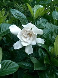 gardenia professor pucci2
