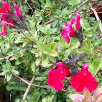 Salvia raspberry royal Daylesford