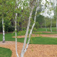 Silver birch wagga gardens