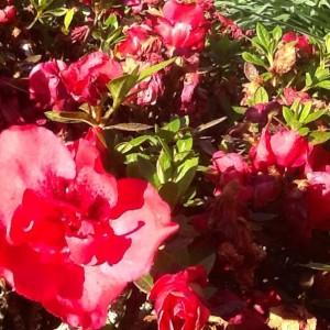 Red azalea ballarat
