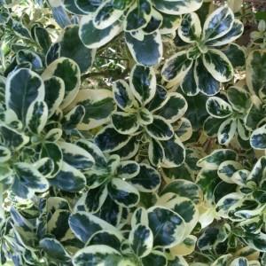 Coprosma mirror bush Brenlissa Pic