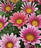 Gazania new day pink shades