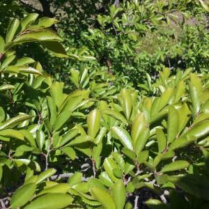 Chinese elm ulmus parvifolia brenlissa pic