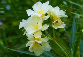 Oleander luteum plenum