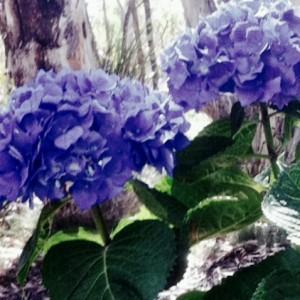 Purple mophead hydrangea Mt Macedon