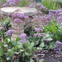 Sea lavender statice limonium