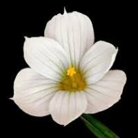 Sisyrichium macounii album2