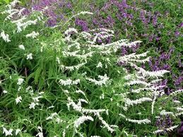 Salvia Leucantha velour white