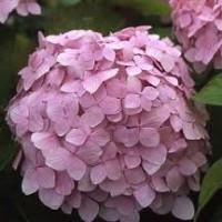 Mousseline pink