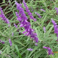 Leucantha salvia purple Beachport 2017