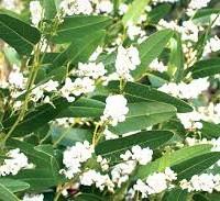 hardenbergia violaceae alba