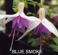 Blue Smoke Fuchsia