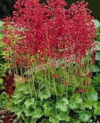 Heuchera Firefly red