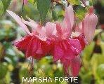 Marsha forte Fuchsia