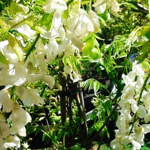 White wisteria alba Ballarat