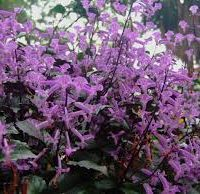 Plectranthus purple angel