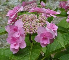 hydrangea jogasaki pink