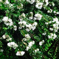 Hebe diosmifolia daylesford