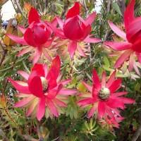 Leucadendron red devil daylesford