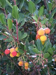 Arbutus unedo strawberry tree2