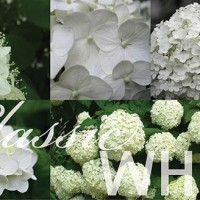 Classic white hydrangea collage