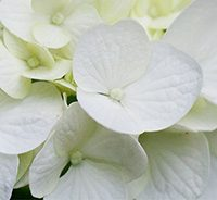 Classic white hydrangea collage2