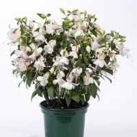 Fuchsia Charm White White Pot