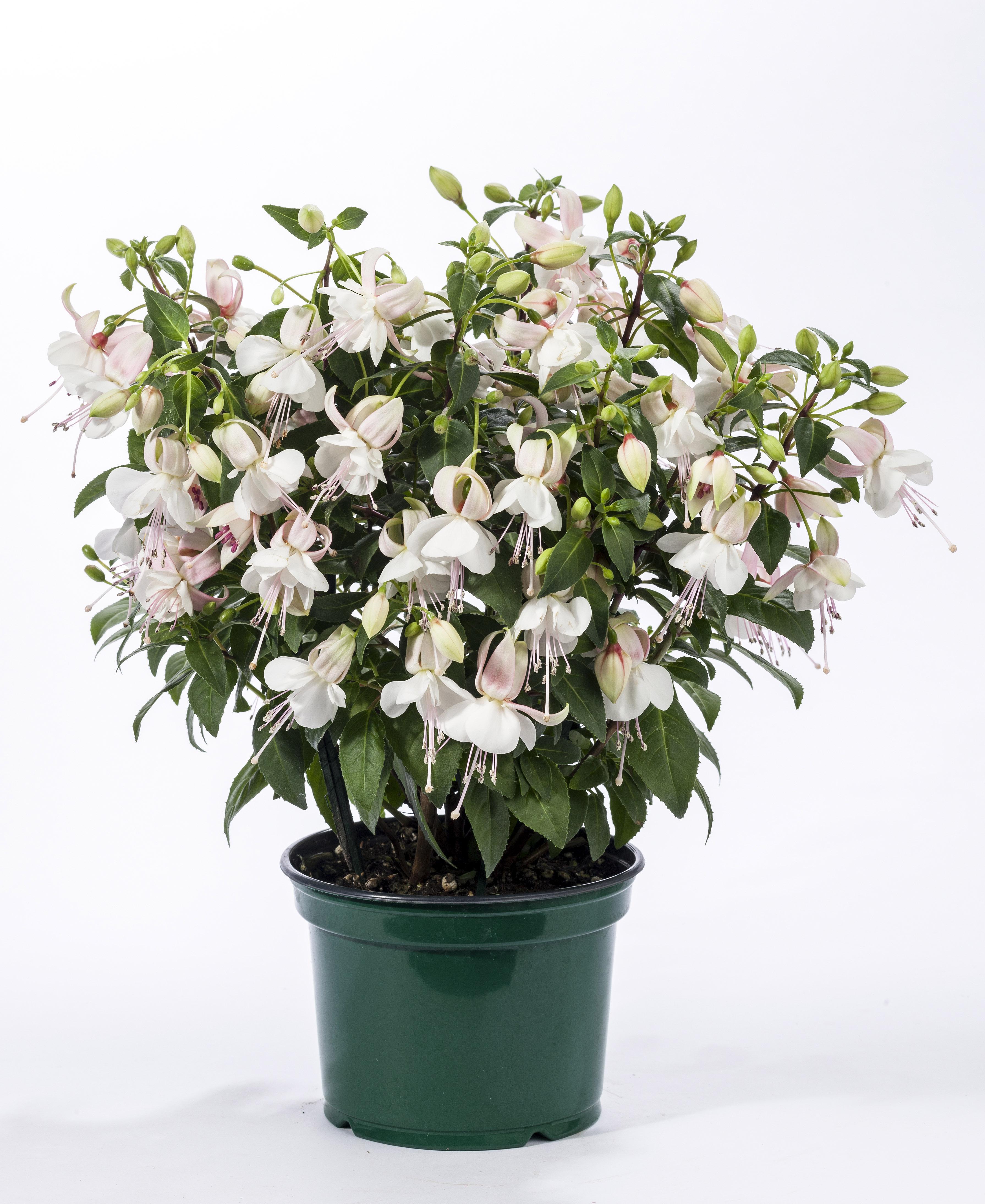fuchsia hybrid charm white white compact charm chime series mail order plants buy now