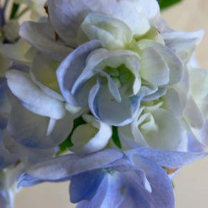 Hydrangea setsuka yae domotoi