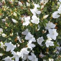 azalea magnifica alba