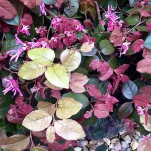 Chinese fringe flower daylesford