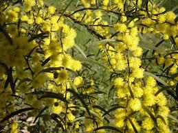 Acacia Spicy verniciflua