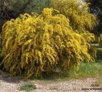 Acacia spicy