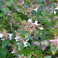 abelia grandiflora mail order Beachport April 2017 Lumix